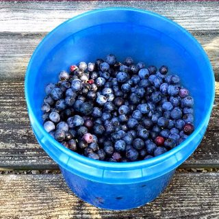 Seven Tips for Picking Blueberries and How To Store Them